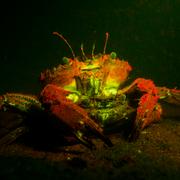 Fluorescent Crab