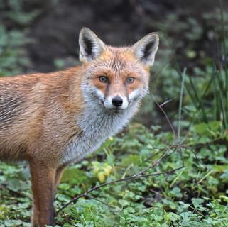 Fox - Wild Parknasilla Exhibition.