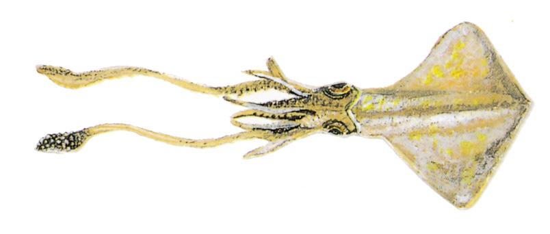 45-Squid