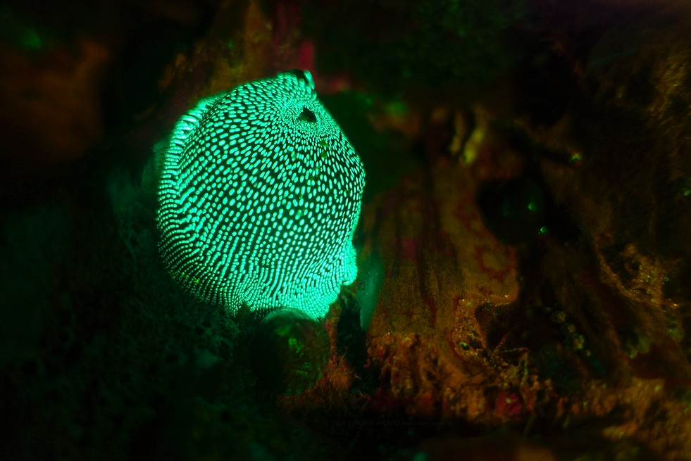strawberry anemone fluoresces.png
