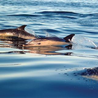 Common Dolphins - Wild Parknasilla Exhibition.
