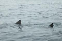Basking Shark fins
