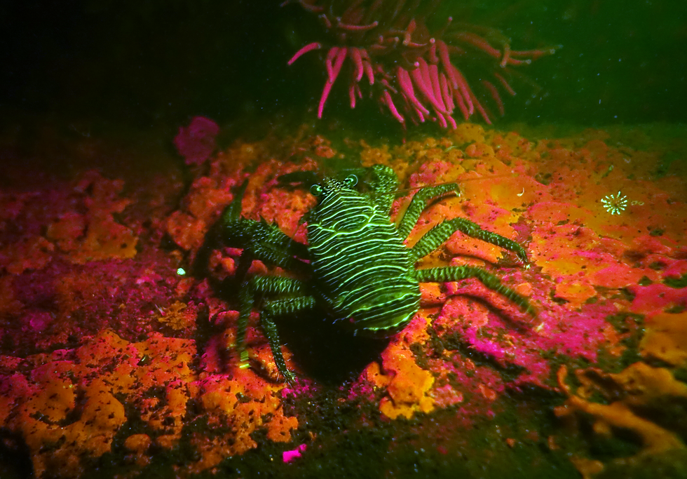 squat-lobster-fluoresce.png