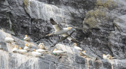 Traditional Nesting material - Gannet with Seaweed