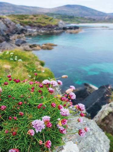 Special Offer - Sea Pinks at Abbey island