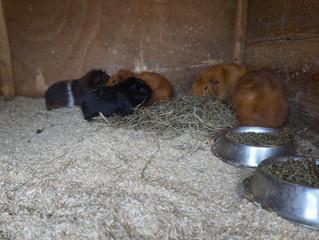 Verzorging konijn, cavia en andere knaagdieren