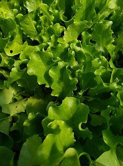 Green leaf lettuce, 1/4#