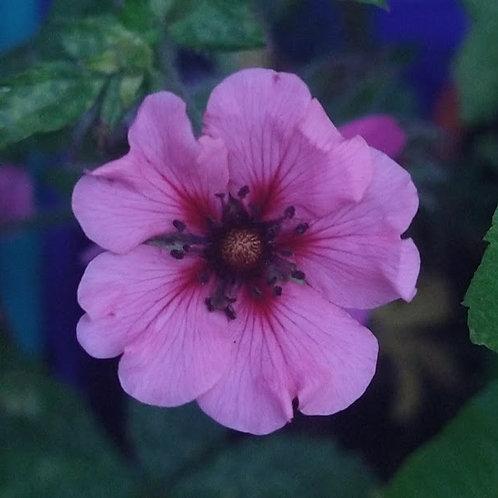 Moisturiser : with Saskia's Sexy & Gorgeous Flower Essence
