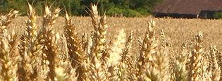 Wheat field - Logo
