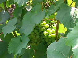 Chardonnay grapes in the Cote de Blancs, Champagne, France