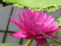 Lilly, Kew Gardens