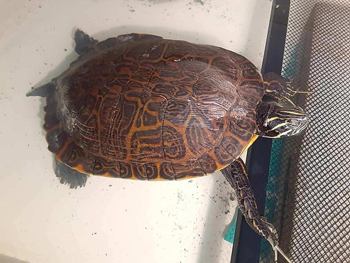 RiverCooter2.jpg
