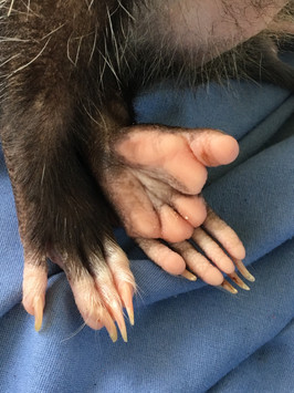 Momma Opossum back feet