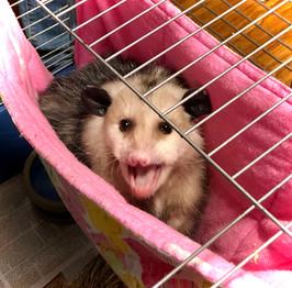 OWN Opossum Ambassador Porscha