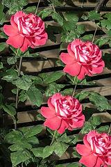LR REPEAT ROSE GARDEN ROSE.jpg