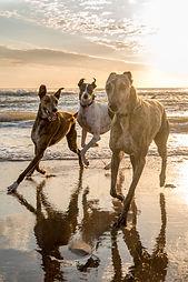 Galgos libres no a la carrera de perros