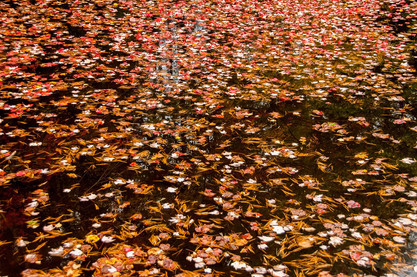 Leaves in the River