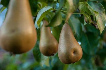 Pears in My Pear tree
