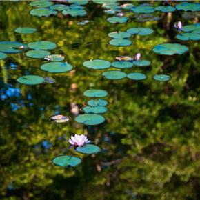 Waterlilies on My Pond