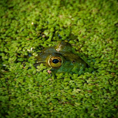 Frog Eyes in the CC Pond