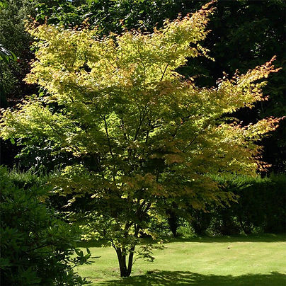 acer-palmatum-senkaki-.jpg