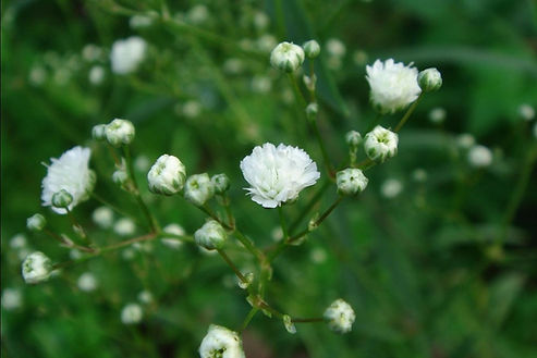 GYPSOPHILE Fleur.jpg