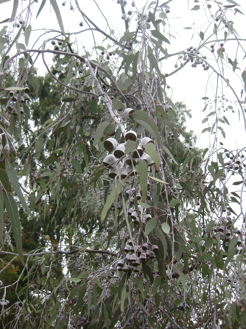 The weeping silver gum at the