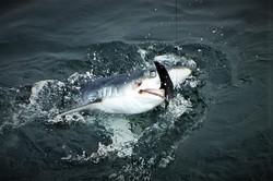 Shark 9