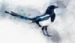 magpie A.jpg