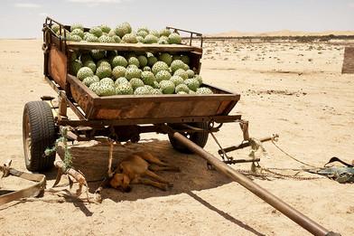 Margaret Courtney-Clarke | !Nara melons (Acanthosicyos horridus) | 2017 | Giclée Print on Hahnemühle Photo Rag Paper | 81.7 x 112 cm