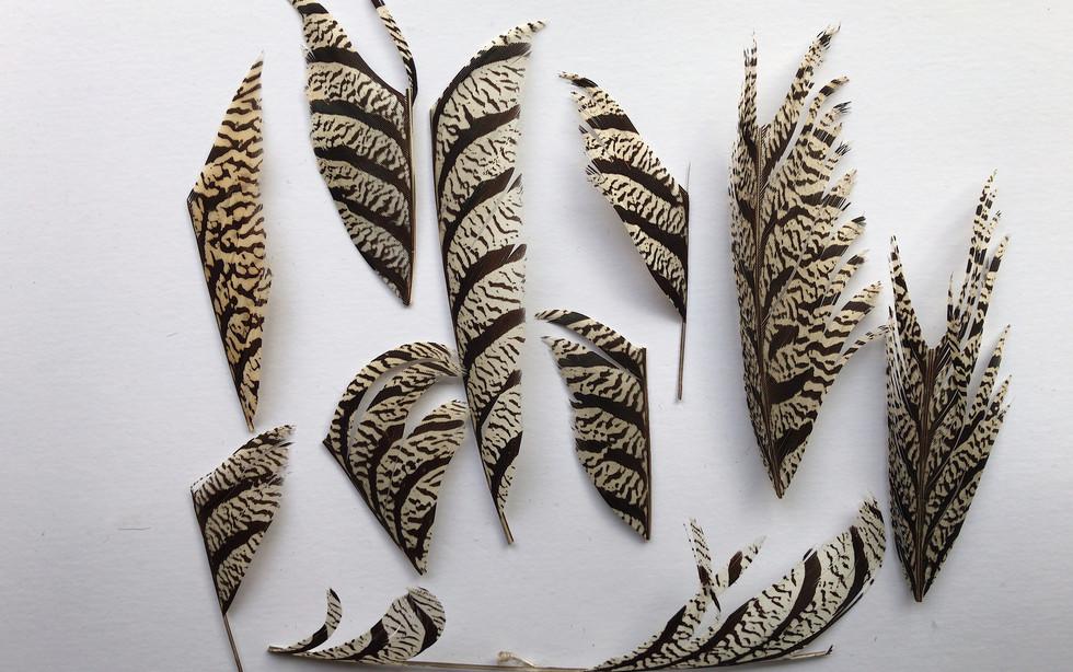 Amherst Pheasant