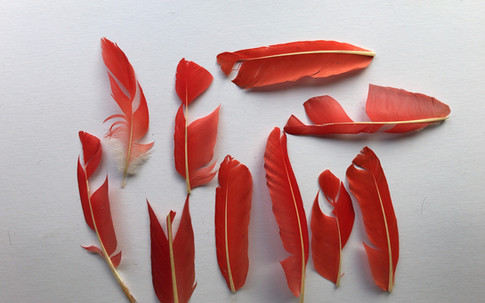 Ibis feathers