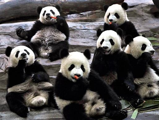 Заповедник больших панд в Сычуани