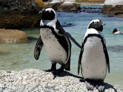 Боулдерс-Бич - африканские пингвины