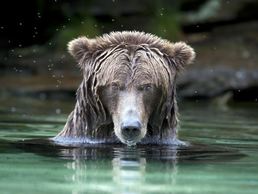 Медведи-гризли, Карибу-Чилкотин