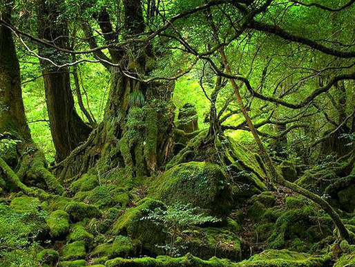 Лес Сираками-Санти, Япония