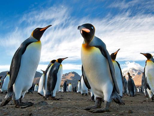 Пингвины, Южная Георгия