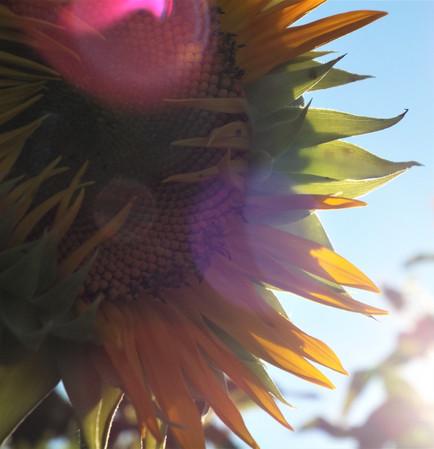 Mattituck Sunflower Closeup