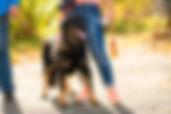 Дрессировка собак. Выставка собак. Тестирование собак. Москва. Ховаварт. Яна. Работа. Рабочие собаки. Рабочие ховаварты. Редкая порода. Ховаварты Москвы. Ховаварт форум. Веста.