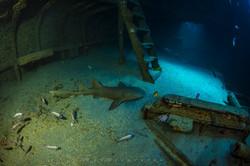 Tubarão-lixa