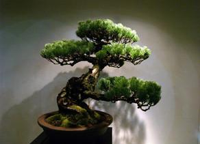 Bonsai, Tanaman Hias Yang Berbentuk Kerdil