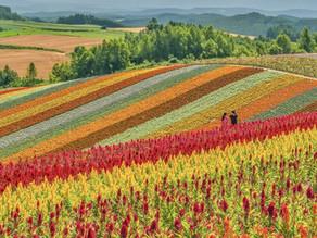 Shikisai No Oka, Surganya Bagi Para Pecinta Bunga