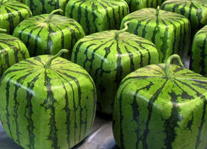Semangka Kotak, Salah Satu Bentuk Kreativitas Bidang Pertanian Jepang