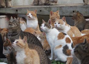 Tashirojima, Pulau Dengan 600 Ekor Kucing!