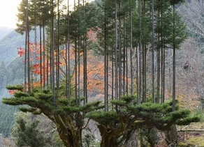 Daisugi, Teknik Penanaman Pohon Yang Kreatif Berasal Dari Jepang