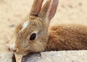Ōkunoshima, Pulau Yang Dipenuhi Dengan Ratusan Ekor Kelinci