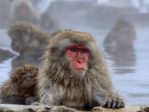 Jigokudani Yaen Kōen, Tempat Pemandian Air Panas Untuk Monyet