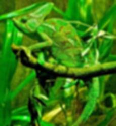 Chameleon_edited.jpg