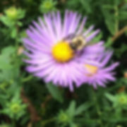 Late blooming Native Plants help our #po