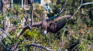 Osprey - East Perth